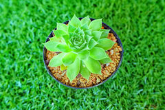 kaktus wzrastał Fotografia Royalty Free