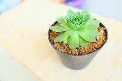 kaktus wzrastał Zdjęcia Stock