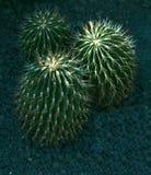 Kaktus z białymi kręgosłupami zdjęcie stock