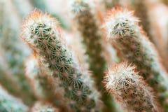 Kaktus z czerwonymi prickles, naturalny makro- zdjęcia stock