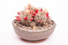 Kaktus z kwiatami i owoc Zdjęcie Stock
