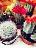 Kaktus z kwiatami, kłujący miniaturowy kaktus zdjęcie stock