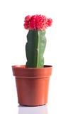 Kaktus z kwiatem w garnku Zdjęcia Stock
