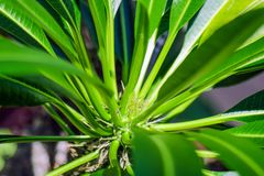 Kaktus z li?? na zielonym tle Pachypodium lameri obrazy royalty free