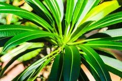 Kaktus z li?? na zielonym tle Pachypodium lameri obrazy stock