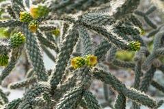 Kaktus z młodymi żółtymi krótkopędami w lato ogródzie zdjęcie royalty free