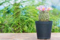 Kaktus Z menchia kwiatem w kwiatu garnku Obraz Stock