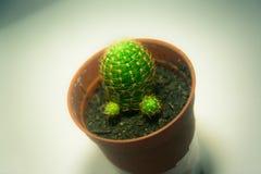 Kaktus z ostrymi cierniami Zdjęcia Stock