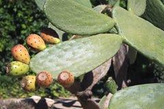 Kaktus z owoc Zdjęcie Stock