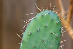 Kaktus z owocowym brązem Zdjęcia Royalty Free