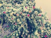 Kaktus z różowymi kwiatami Obrazy Royalty Free