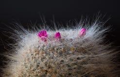 Kaktus z różowymi kwiatami Zdjęcie Stock