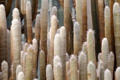 Kaktus zakrywa z żółtym fluff Fotografia Stock