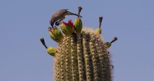 Kaktus-Zaunkönig, der auf Saguaro speist Lizenzfreies Stockbild