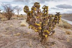 Kaktus zieleń w Osłupiałym Lasowym parku narodowym Obraz Royalty Free