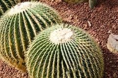 Kaktus zwei auf der Wüste Lizenzfreies Stockbild