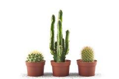 kaktusa biel trzy Obrazy Royalty Free