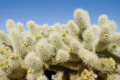 kaktusa cholla Obrazy Stock