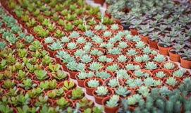 Kaktusa gospodarstwo rolne Zdjęcie Royalty Free