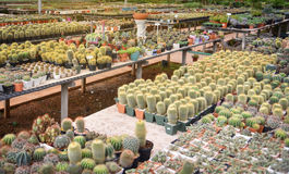 Kaktusa gospodarstwo rolne Fotografia Stock