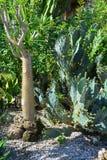 Kaktusa i palmy ogród Obraz Royalty Free
