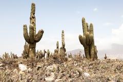 Kaktusa krajobraz Obrazy Stock