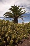 Kaktusa ogród Obraz Royalty Free