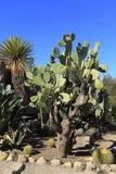 Kaktusa ogród Zdjęcia Stock
