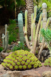 Kaktusa ogród Fotografia Royalty Free