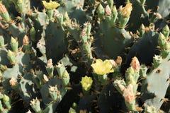Kaktusa ogród przy wyspą Majorca, Botanicactus ogród, jardiÂn Botanico, Ses Salines, Mallorca, Balearic wyspy, Hiszpania zdjęcia royalty free
