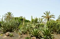 Kaktusa ogród w La Oliva obraz royalty free
