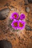 Kaktusa okwitnięcie Fotografia Stock