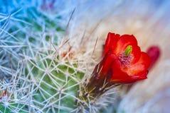 Kaktusa okwitnięcie Zdjęcia Royalty Free