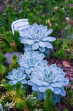 Kaktusa tłustoszowaty dorośnięcie w szklarnianym zbliżeniu Zdjęcia Royalty Free