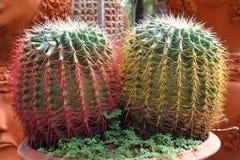 kaktusa up zamknięty Zdjęcie Stock