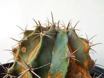 kaktusa up zamknięty Zdjęcie Royalty Free
