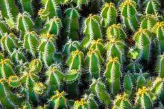kaktusa up zamknięty Obraz Royalty Free