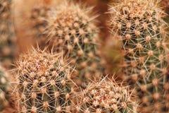 Kaktusa zakończenie strzelający z makro- obiektywem Obrazy Stock