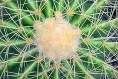 kaktusa zakończenia tekstura Obrazy Royalty Free