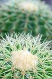 kaktusa zakończenia tekstura Zdjęcia Royalty Free