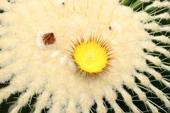 kaktusa zamknięty echinocactus grusonii wierzchołek w górę widok zdjęcie royalty free