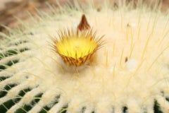 kaktusa zamknięty echinocactus grusonii wierzchołek w górę widok zdjęcia stock