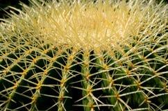 kaktusa zamknięty echinocactus grusonii wierzchołek w górę widok Obraz Royalty Free