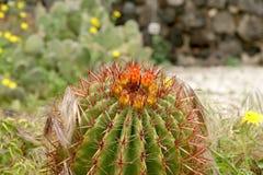 kaktusa zbliżenie uwarunkowywać naturalnego Obrazy Royalty Free