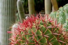 kaktusa zbliżenie uwarunkowywać naturalnego Fotografia Royalty Free