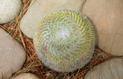 kaktusa zbliżenie uwarunkowywać naturalnego Obraz Royalty Free