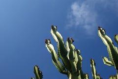 kaktusa zbliżenie uwarunkowywać naturalnego Zdjęcie Stock