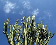 kaktusa zbliżenie Zdjęcia Royalty Free