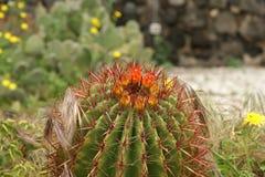 Kaktusa zbliżenie Zdjęcie Royalty Free