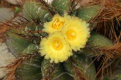 Kaktusa zbliżenie Zdjęcia Stock